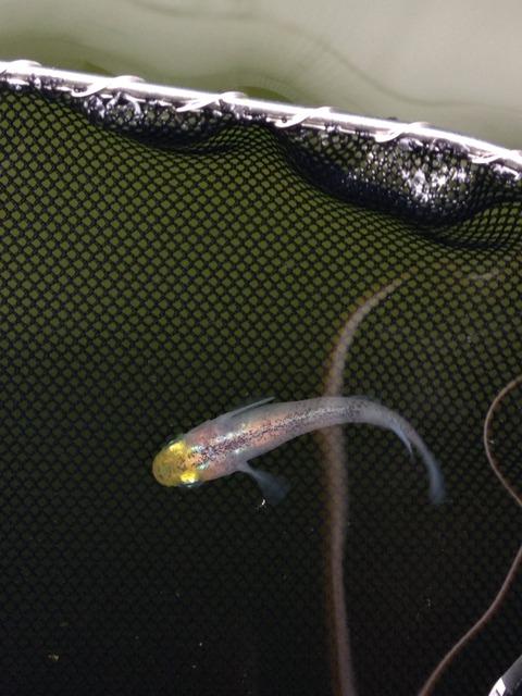 ラメ幹之メダカの特徴がある灯メダカの稚魚