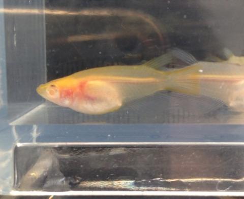 オレンジ色のアルビノシースルーメダカの特徴