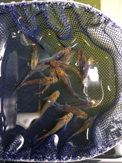 オーロラメダカの特徴がある灯メダカの稚魚