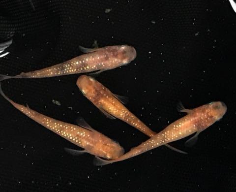 冬の赤ぶちラメ幹之メダカの特徴