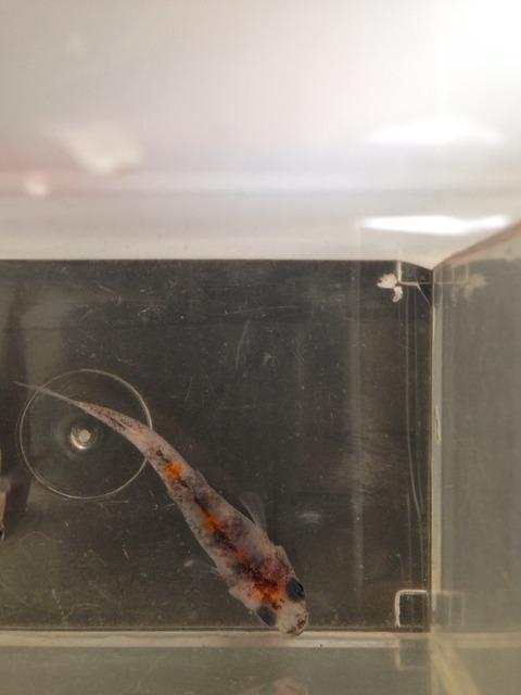 綺麗に撮影した朱赤三色透明鱗メダカ