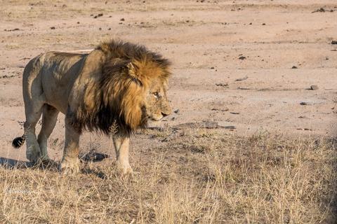 lr blog Londolozi Lion-01544