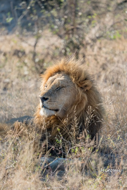lr blog Londolozi Lion-00647