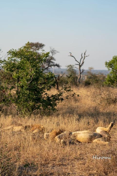 lr blog Londolozi Lions-00632