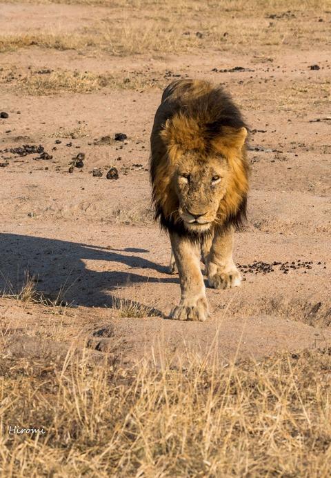 lr blog Londolozi Lion-01543-2