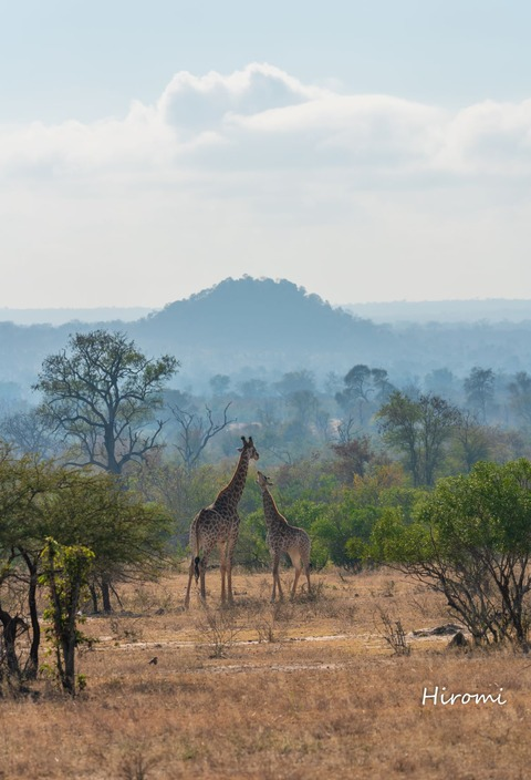 lr blog Londolozi Giraffe-01581