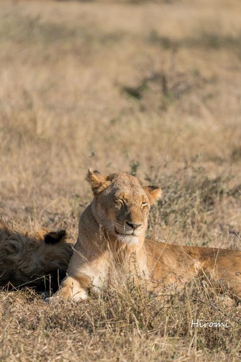 lr blog Londolozi Lion-00651