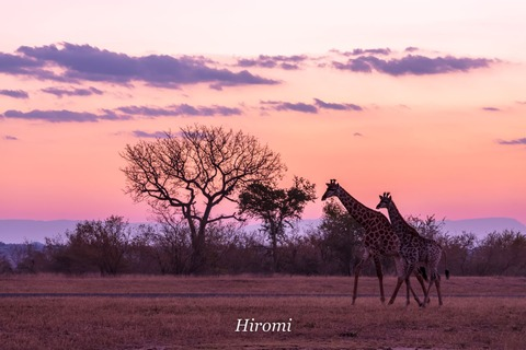 lr blog Londolozi Giraffe sunset-01749