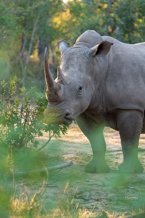 lr blog Londolozi Rhinos-00756
