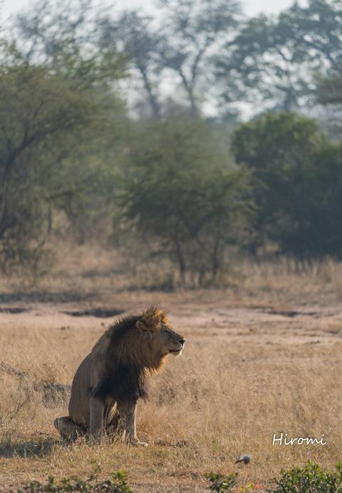 lr blog Londolozi Lion-01530