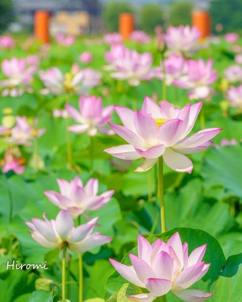 lr blog Fujiwarakyuseki Hasu smallsize-02533