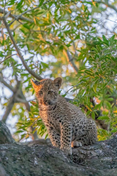 lr blog leopard-01036