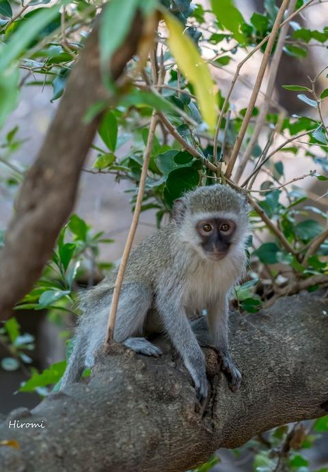 lr blog Londolozi Monkey-00671
