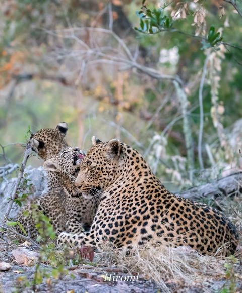lr blog Londolozi Leopard-01023-2
