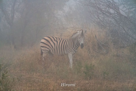 lr blog Londolozi Zebra in fog-01478
