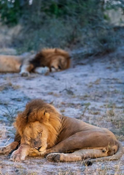 lr blog Londolozi Lions-00821