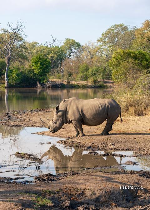lr blog Londolozi Rhino-01564