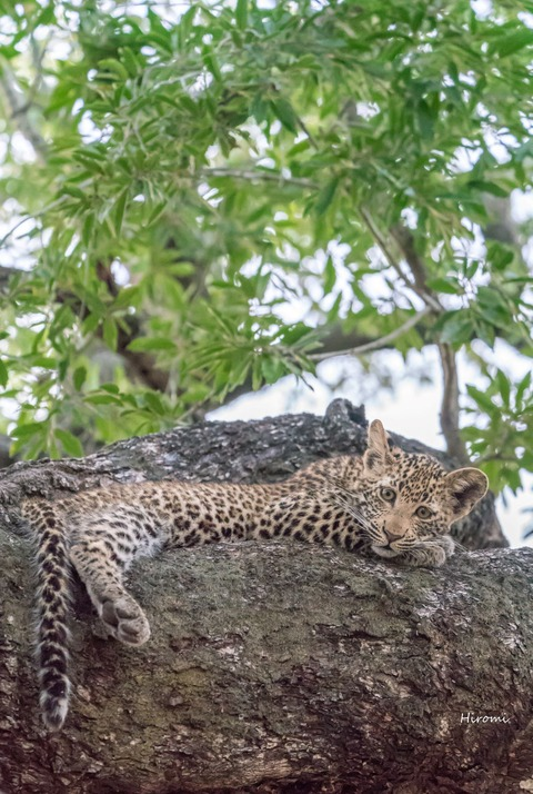 lr blog Londolozi Leopard-00877