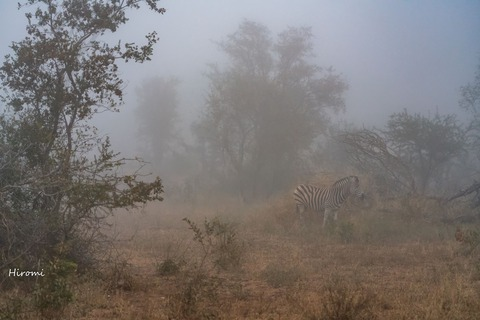 lr blog Londolozi Zebra in fog-01479