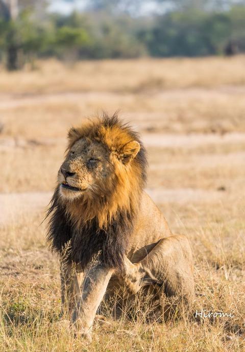 lr blog Londolozi Lion-01533