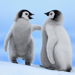 2-baby-penguins-1024-1024-5282