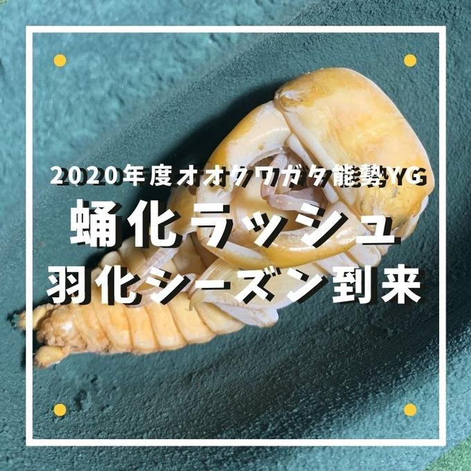 蛹化ラッシュ (2)
