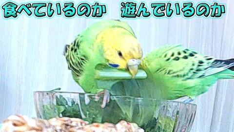 小松菜を加えたりペッペッして遊ぶ りりちゃん サムネイル2