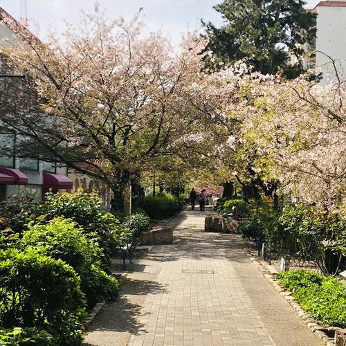 宝塚桜並木