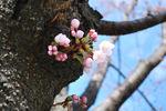 【2016年4月17日】弘前さくらまつり写真