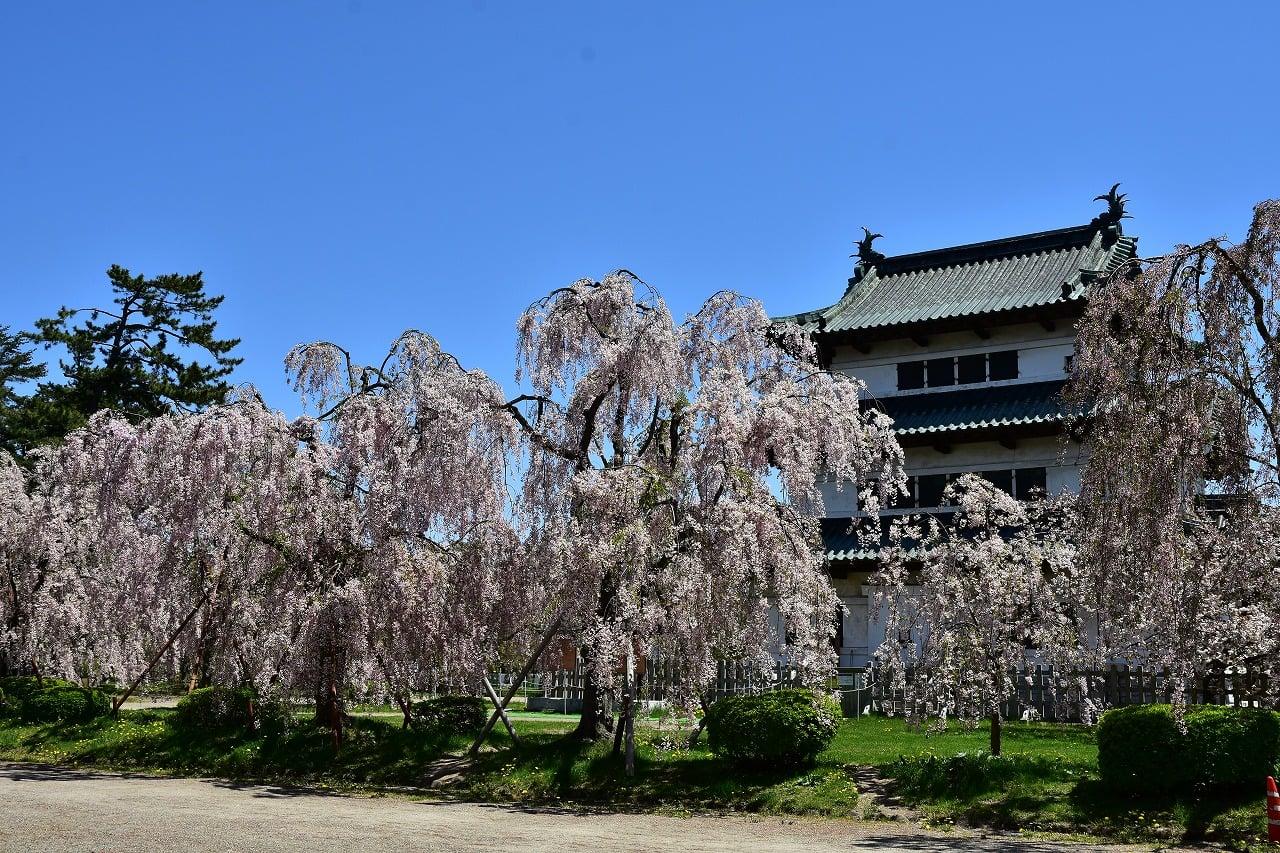 【2020年弘前公園】誰もいない桜写真