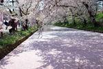【2017年4月30日】弘前さくらまつり写真
