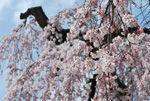 【2017年4月21日】弘前さくらまつり写真