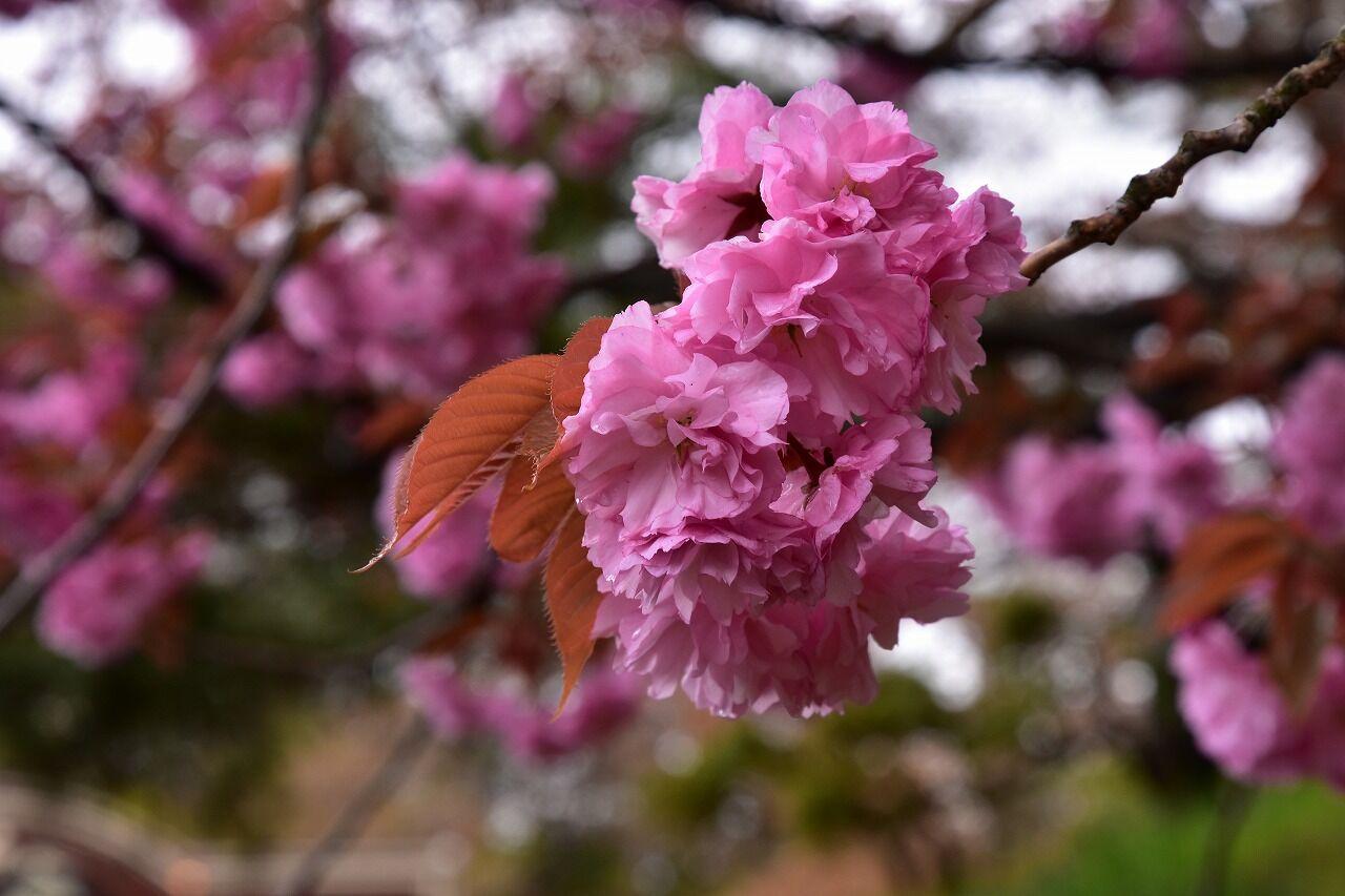 【2021年弘前公園】誰もいない桜写真