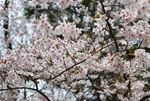 【2017年4月20日】弘前さくらまつり写真