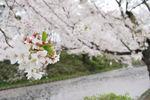 【2016年4月26日弘前さくらまつり写真】