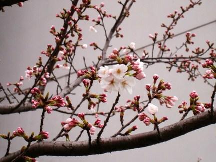 桜(北九州市立大学前)