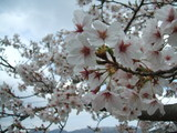 【桜満開!】