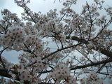 【桜満開!2】