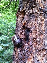 カブトムシとスズメバチ