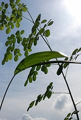 moringa oleifera lamarckとeuterpe oleracea