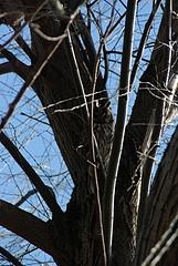 多摩川のフクロウ(トラフズク)