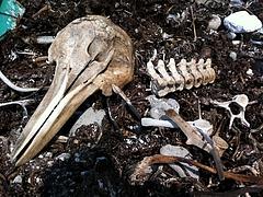 イルカの頭蓋骨