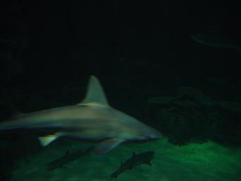 ラスベガス マンダレイ・ベイホテル  シャーク リーフ 水槽で泳ぐサメ