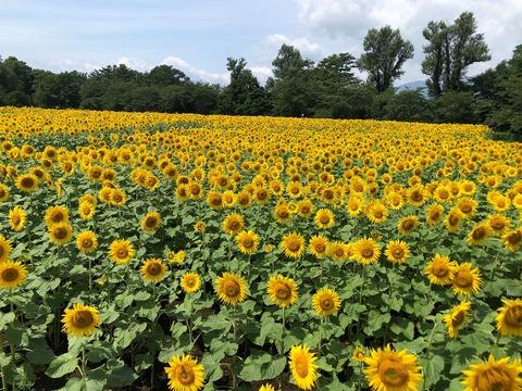 144 向日葵畑。