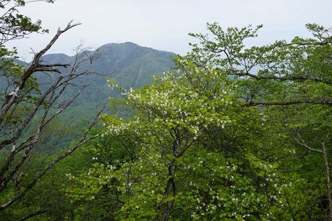 067 前黒山とシロヤシオ。