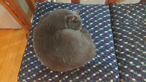 238 【第4日目】朝起きたら椅子の上に飼い猫。