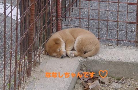 京都犬舎で昼寝-1