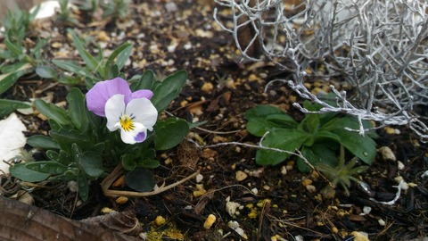 こぼれ種で勝手に咲いたビオラ