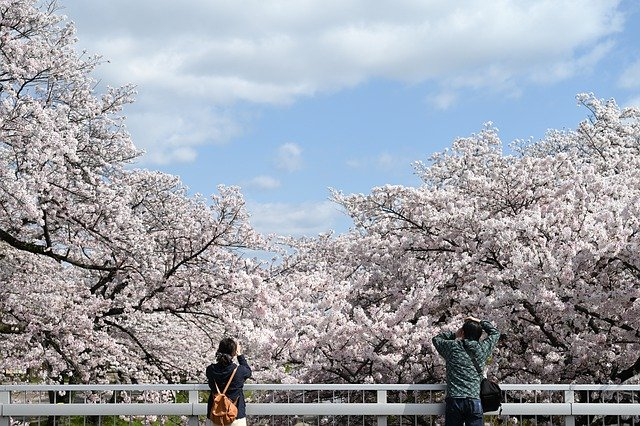cherry-blossoms-5005234_640