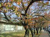 三国湊の未来館の桜